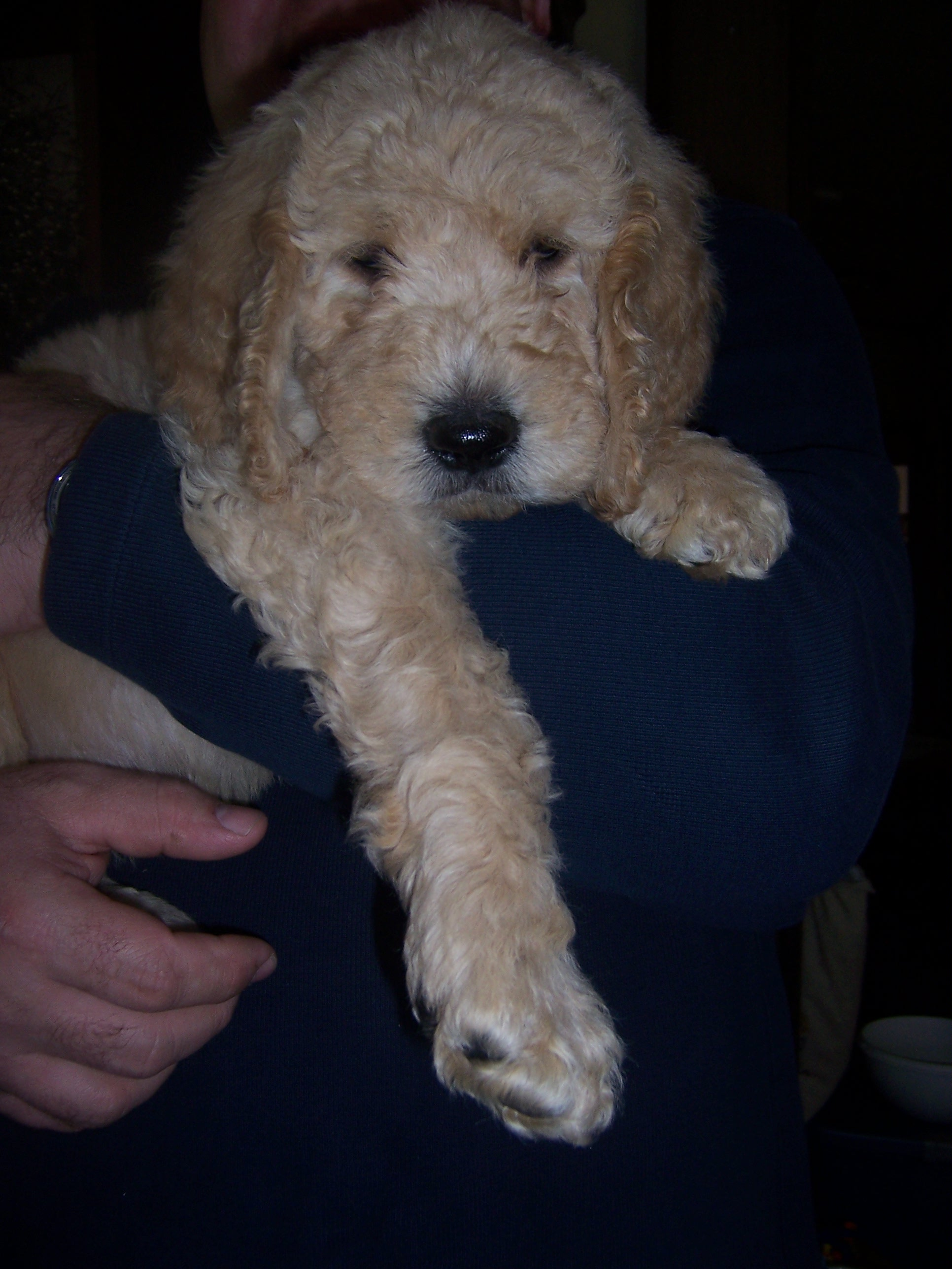 MALE, STD DOODLE PUP GOING TO HIS NEW HOME